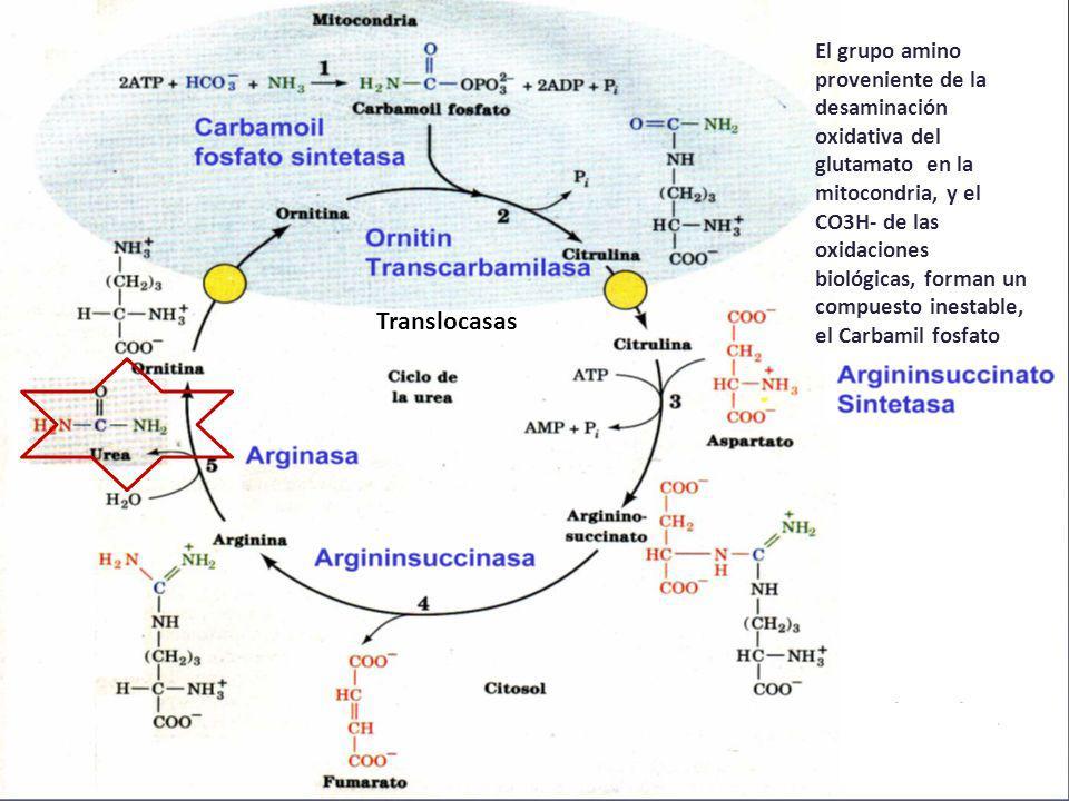 El grupo amino proveniente de la desaminación oxidativa del glutamato en la mitocondria, y el CO3H- de las oxidaciones biológicas, forman un compuesto