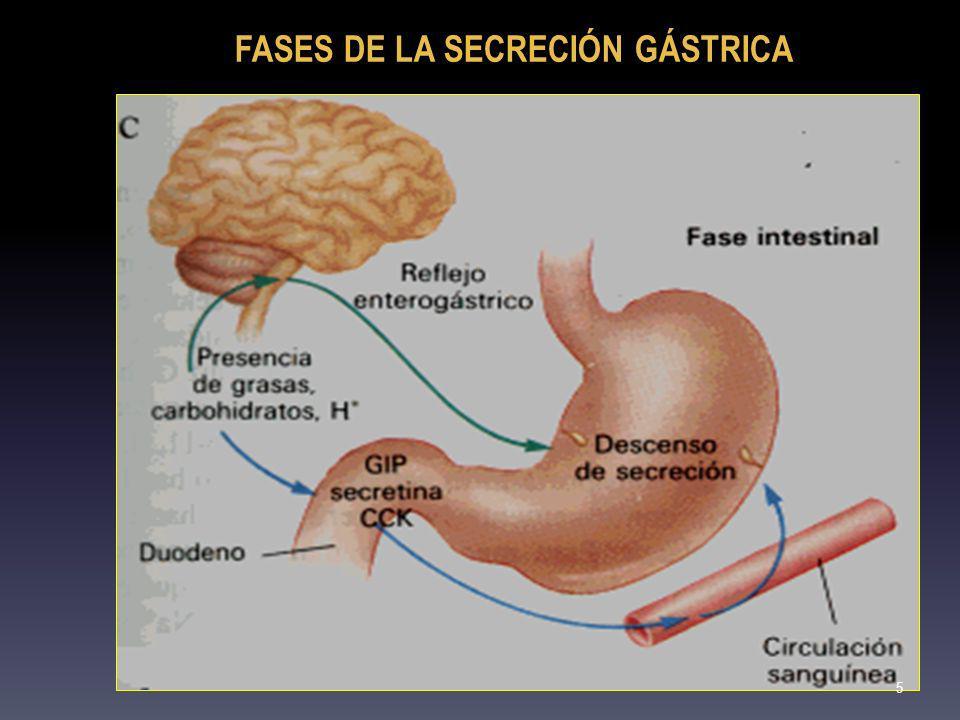 DIGESTION DE PROTEINAS: DIGESTION DE PROTEINAS: GASTRINA: Síntesis: células G; estómago Estímulos: distensión mecánica del antro gástrico; actividad vagal; comidas proteicas; elevación del pH de la mucosa Acción: aumento de la secreción de ácido clorhídrico; acción trófica gástrica 6