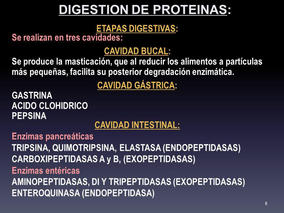 PRINCIPALES ENZIMAS QUE ACTÚAN SOBRE LAS PROTEINAS Enzima PepsinaTripsinaQuimiotripsinaElastasaCarboxipeptidasa A y B Amino-Oligo- Peptidasa S í ntesis C é lulas principales g á stricas P á ncreas ex ó crino Ribete en cepillo Origen Mucosa g á stricaP á ncreas Intestino delgado Sustratos PROTEINAS DE LA DIETA (uniones pept í dicas alejadas de los extremos) PROTEINAS Y PEPTIDOSPOLIPEPTIDOS EN EL EXTREMO CARBOXILO LIBRE POLIPEPTIDOS EN EL EXTREMO AMINO LIBRE Productos PEPTIDOS Y OLIGOPEPTIDOS POLIPEPTIDOS Y DIPEPTIDOSAMINOACIDOS LIBRES Car á cter ENDOPEPTIDAS A (ASP- Enz) ENDOPEPTIDASAEXOPEPTIDASAS Enlace susceptible AA AROMATICOS (triptofano, fenilalanina y tirosina) CARBOXILO DE AA DIAMINADOS (lisina y arginina) CARBOXILO DE AA AROMATICOS (tirosina, triptofano o fenilalanina) AA PEQUE Ñ OS (alanina) A:AROMATICOS B: BASICOS LEUCINA pH ó ptimo 1-38 Zim ó geno PEPSINOGENOTRIPSINOGENOQUIMIOTRIP- SIN Ó GENO PROELASTASAPROCARBOXI- PEPTIDASAS PROAMINO- PEPTIDASAS Acivaci ó n pH BAJO; AUTOCATALISIS ENTEROQUINASA INTESTINAL (pH 5-6); AUTOCATALISIS (pH=8) TRIPSINA 9