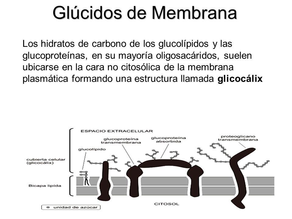 Los hidratos de carbono de los glucolípidos y las glucoproteínas, en su mayoría oligosacáridos, suelen ubicarse en la cara no citosólica de la membran