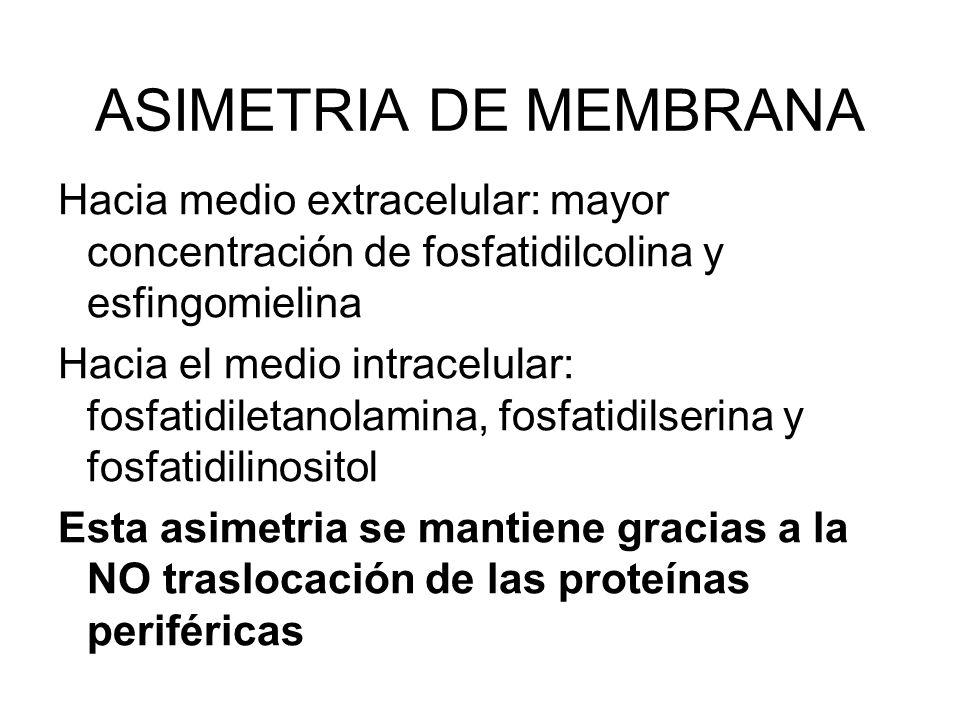 ASIMETRIA DE MEMBRANA Hacia medio extracelular: mayor concentración de fosfatidilcolina y esfingomielina Hacia el medio intracelular: fosfatidiletanol