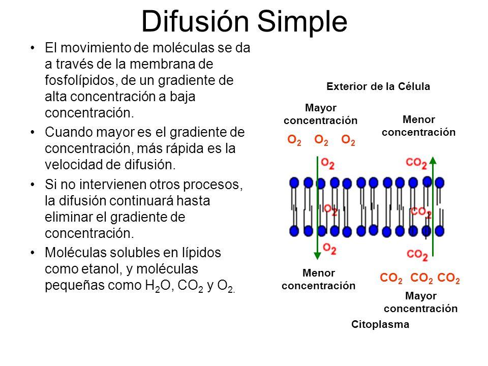 Difusión Simple El movimiento de moléculas se da a través de la membrana de fosfolípidos, de un gradiente de alta concentración a baja concentración.