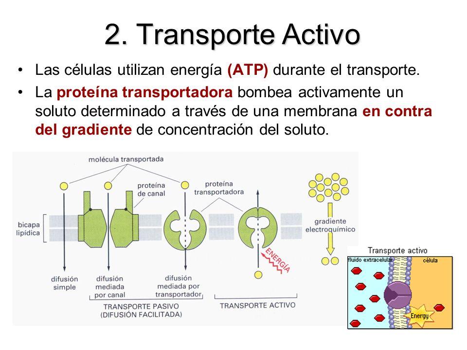 Las células utilizan energía (ATP) durante el transporte. La proteína transportadora bombea activamente un soluto determinado a través de una membrana