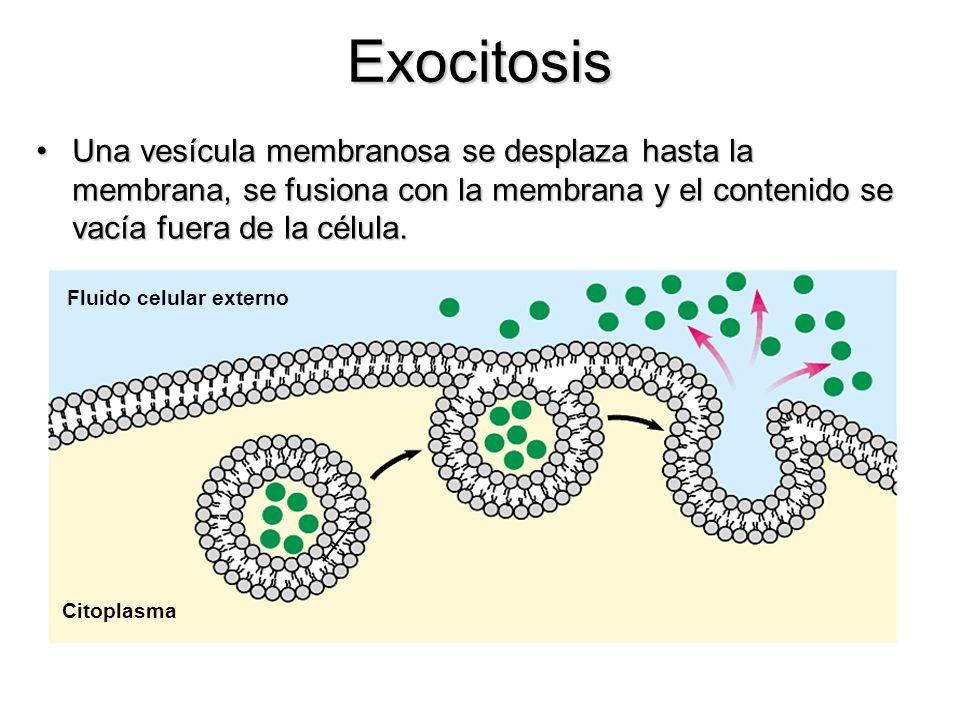 Exocitosis Una vesícula membranosa se desplaza hasta la membrana, se fusiona con la membrana y el contenido se vacía fuera de la célula.Una vesícula m