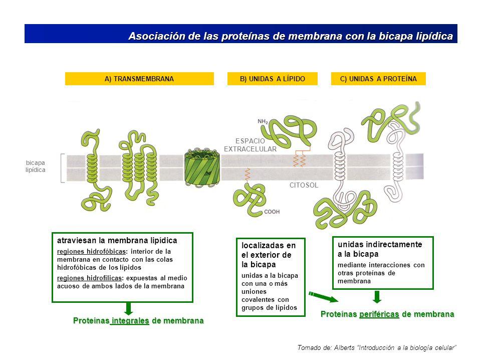 Asociación de las proteínas de membrana con la bicapa lipídica Asociación de las proteínas de membrana con la bicapa lipídica Tomado de: Alberts Intro