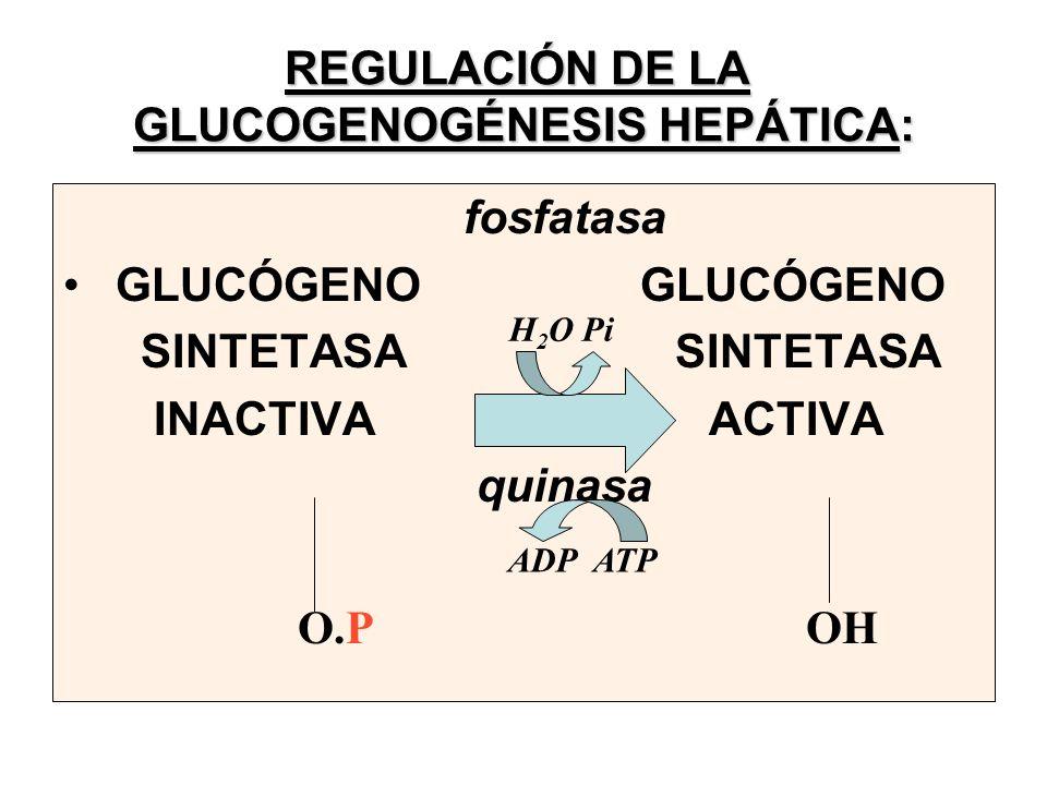 REGULACIÓN DE LA GLUCOGENOGÉNESIS HEPÁTICA: fosfatasa GLUCÓGENO SINTETASA SINTETASA INACTIVA ACTIVA quinasa O.P OH ADP ATP H 2 O Pi