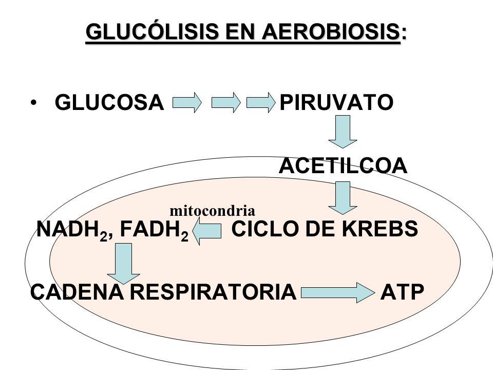 GLUCÓLISIS EN AEROBIOSIS: GLUCOSA PIRUVATO ACETILCOA NADH 2, FADH 2 CICLO DE KREBS CADENA RESPIRATORIA ATP mitocondria