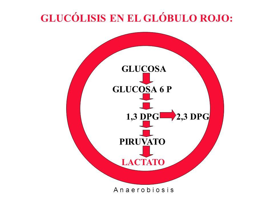 GLUCOSA GLUCOSA 6 P 1,3 DPG PIRUVATO LACTATO 2,3 DPG GLUCÓLISIS EN EL GLÓBULO ROJO: A n a e r o b i o s i s