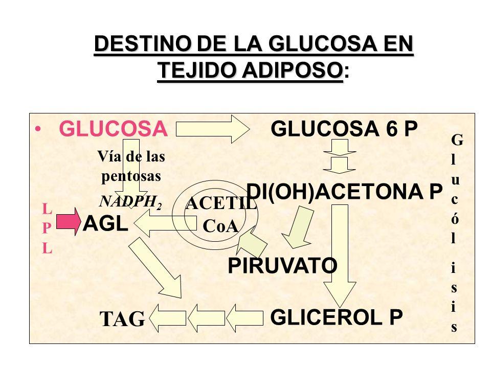 GLUCOSA GLUCOSA 6 P DI(OH)ACETONA P AGL GLICEROL P DESTINO DE LA GLUCOSA EN TEJIDO ADIPOSO DESTINO DE LA GLUCOSA EN TEJIDO ADIPOSO: TAG Vía de las pentosas NADPH 2 LPLLPL GlucólisisGlucólisis PIRUVATO ACETIL CoA