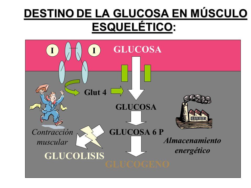 DESTINO DE LA GLUCOSA EN MÚSCULO ESQUELÉTICO: DESTINO DE LA GLUCOSA EN MÚSCULO ESQUELÉTICO: GLUCOSA GLUCOSA 6 P GLUCOLISIS GLUCOGENO Glut 4 GLUCOSA II Contracción muscular Almacenamiento energético