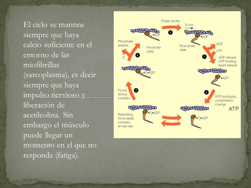 El ciclo se mantine siempre que haya calcio suficiente en el entorno de las miofibrillas (sarcoplasma), es decir siempre que haya impulso nervioso y l