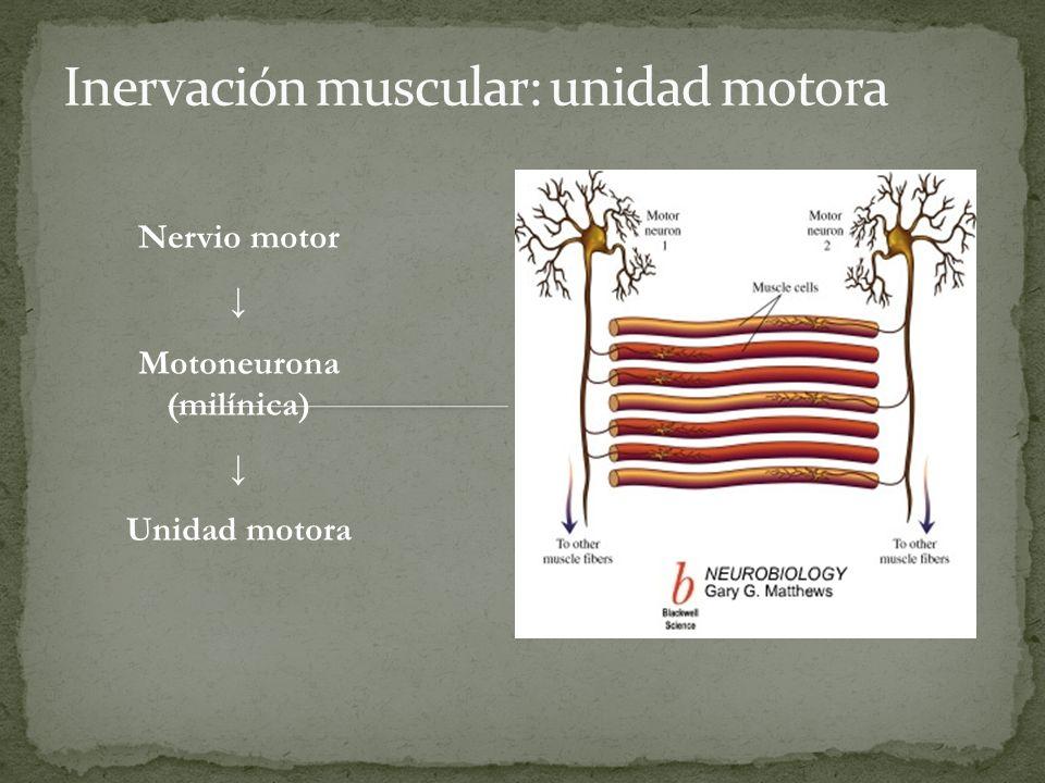 Nervio motor Motoneurona (milínica) Unidad motora