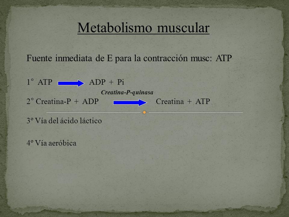 Metabolismo muscular Fuente inmediata de E para la contracción musc: ATP 1° ATP ADP + Pi Creatina-P-quinasa 2° Creatina-P + ADP Creatina + ATP 3º Vía