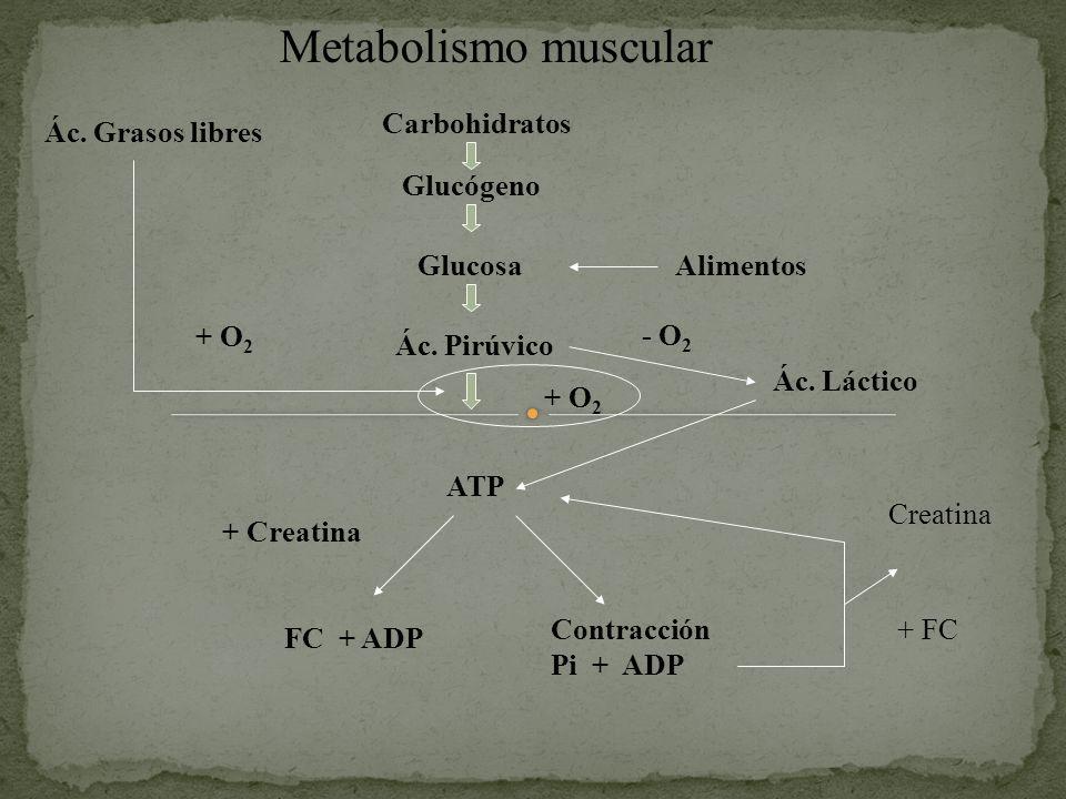 Metabolismo muscular Carbohidratos Glucógeno GlucosaAlimentos Ác. Pirúvico ATP + O 2 Ác. Grasos libres + O 2 Ác. Láctico - O 2 FC + ADP Contracción Pi