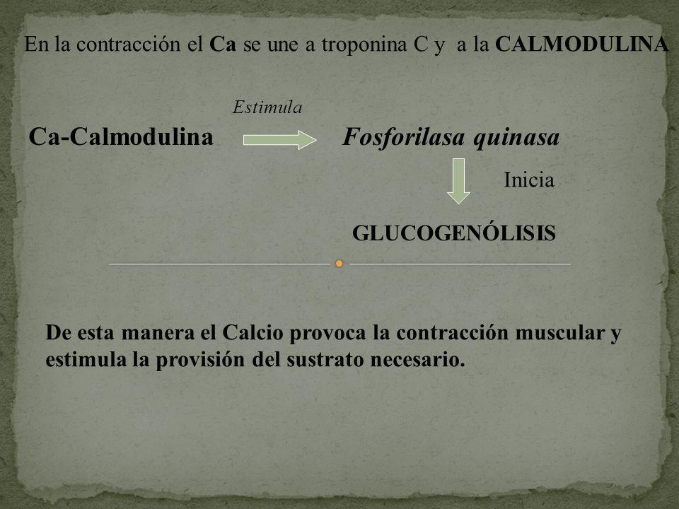 En la contracción el Ca se une a troponina C y a la CALMODULINA Estimula Ca-Calmodulina Fosforilasa quinasa GLUCOGENÓLISIS Inicia De esta manera el Ca