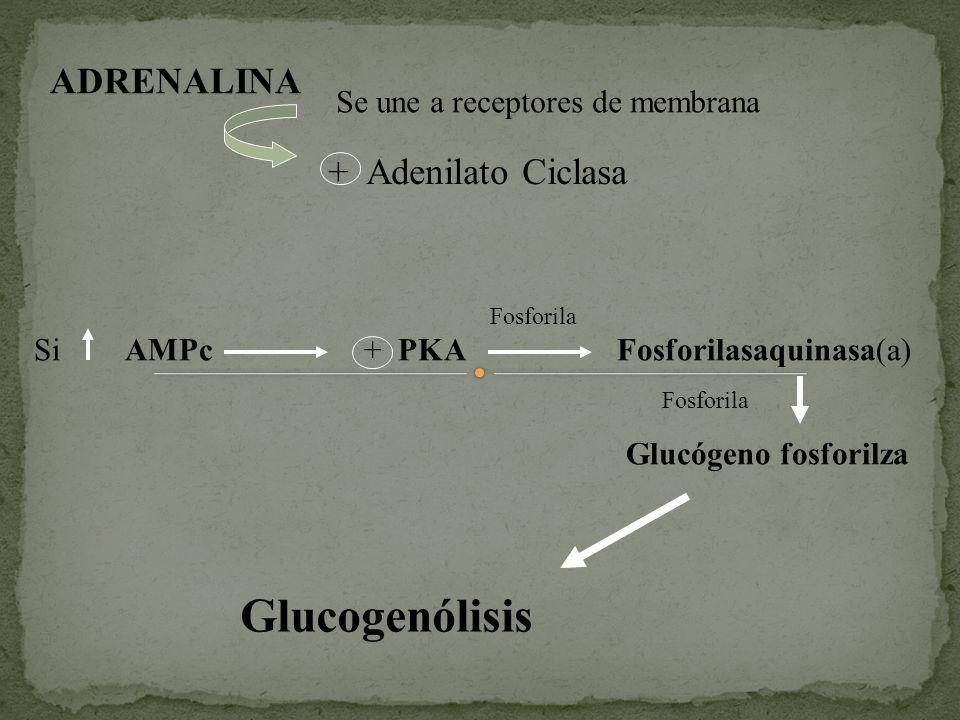 ADRENALINA Se une a receptores de membrana + Adenilato Ciclasa Si AMPc + PKA Fosforilasaquinasa(a) Fosforila Glucógeno fosforilza Fosforila Glucogenól
