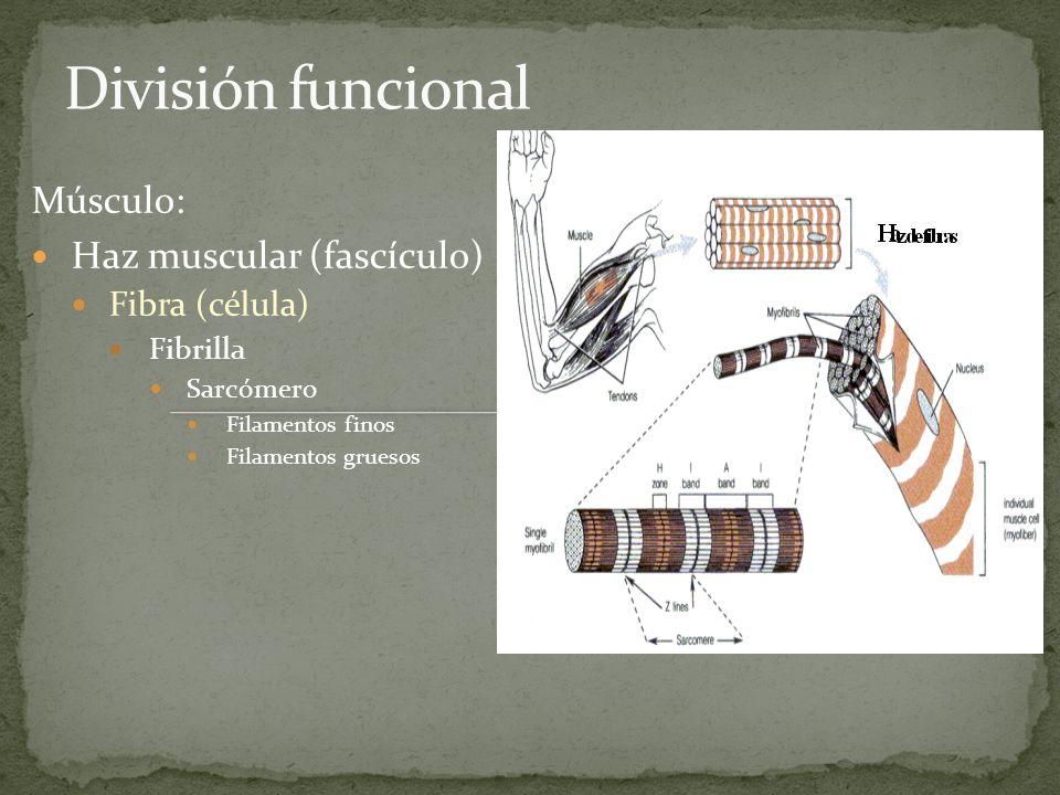 Diámetro 10-80 m; longitud la del músculo Sarcolema = membrana: se continúa con el tendón Sarcoplasma = citoplasma de la fibra muscular.