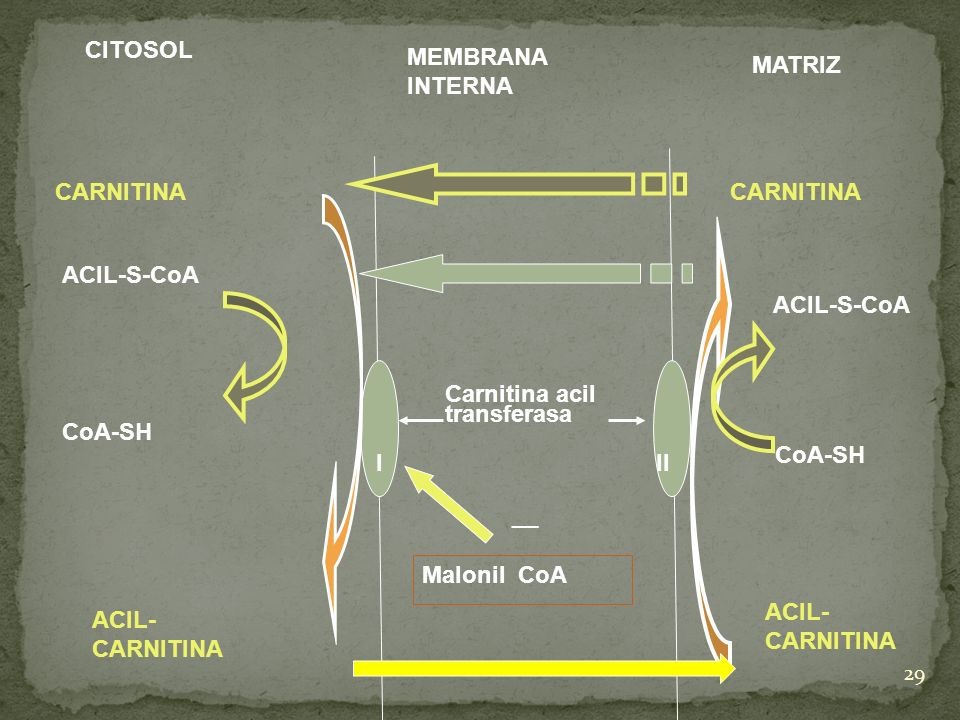 29 CITOSOL MEMBRANA INTERNA MATRIZ CARNITINA III Carnitina acil transferasa ACIL-S-CoA CoA-SH ACIL- CARNITINA Malonil CoA __