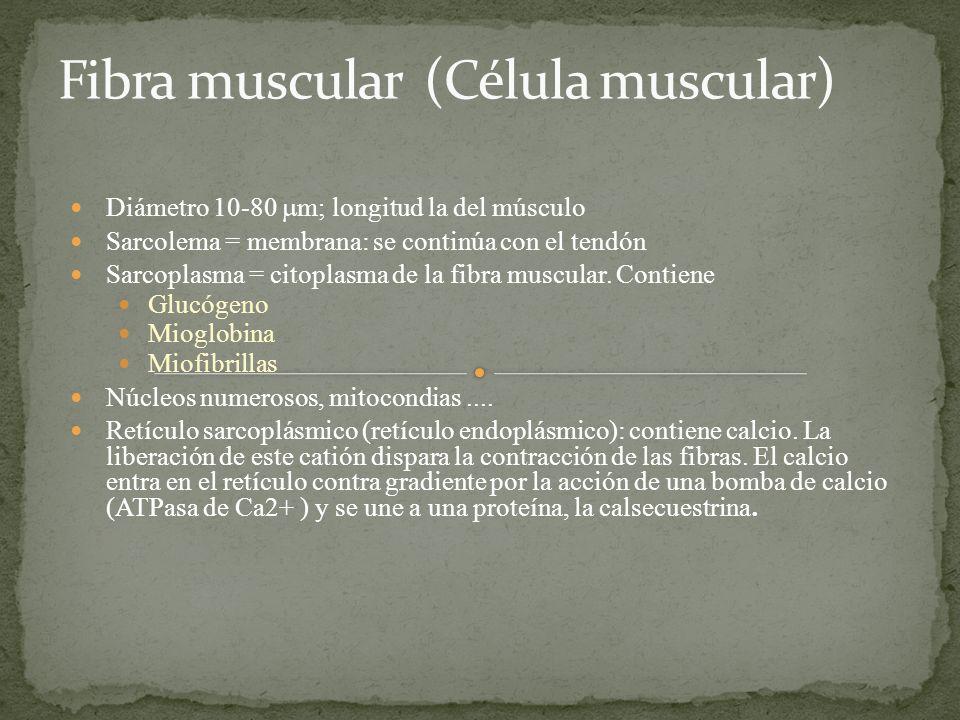 Diámetro 10-80 m; longitud la del músculo Sarcolema = membrana: se continúa con el tendón Sarcoplasma = citoplasma de la fibra muscular. Contiene Gluc