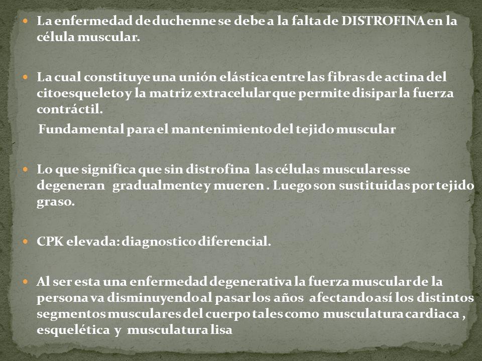 La enfermedad de duchenne se debe a la falta de DISTROFINA en la célula muscular. La cual constituye una unión elástica entre las fibras de actina del