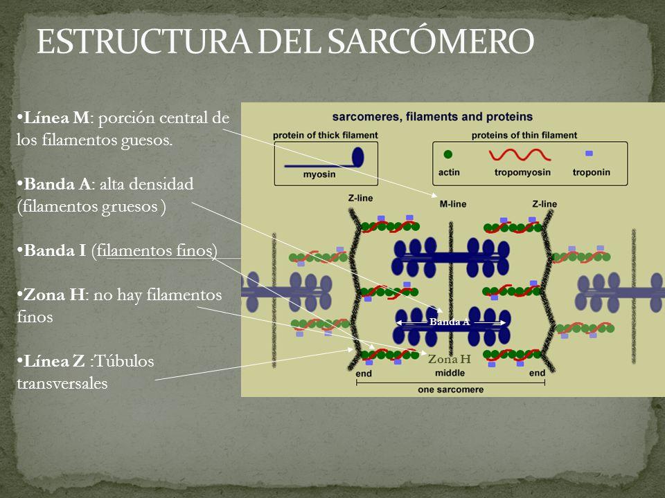 4.Los túbulos T conectan directamente con el retículo sarcoplásmico, de forma que cuando los primeros se despolarizan se abren canales de Ca+ dependientes de voltaje del segundo, esto provoca que el Ca2+ salga del retículo sarcoplásmico al sarcoplasma.