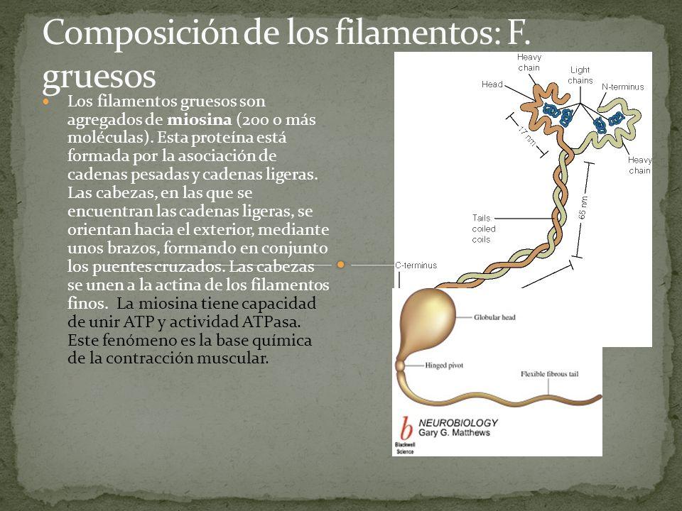 Los filamentos gruesos son agregados de miosina (200 o más moléculas). Esta proteína está formada por la asociación de cadenas pesadas y cadenas liger