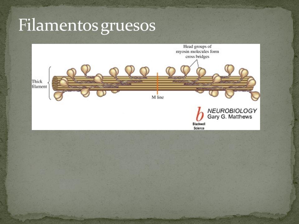 Actina (actina G, globular), forma agregados (actina F, fibrosa).