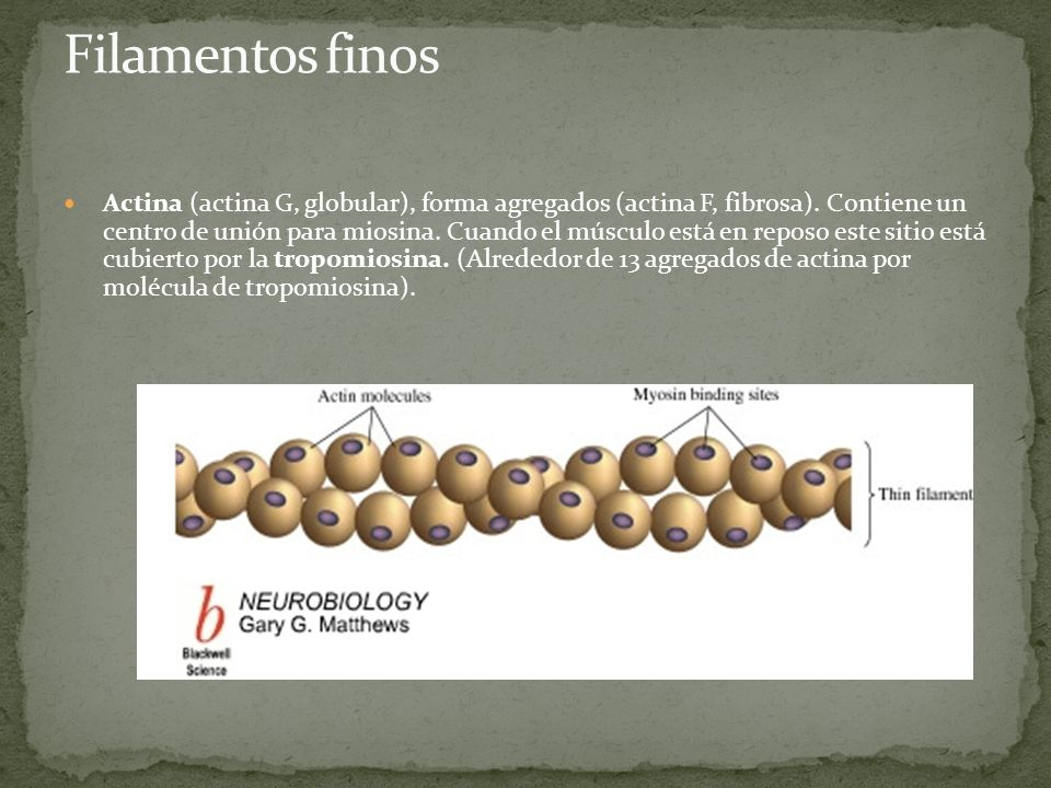 Tropomiosina: proteína filamentosa que se asocia a la actina.