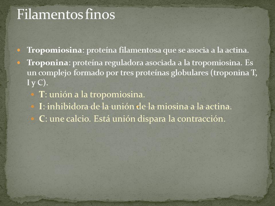 Tropomiosina: proteína filamentosa que se asocia a la actina. Troponina: proteína reguladora asociada a la tropomiosina. Es un complejo formado por tr