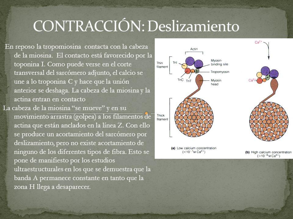 En reposo la tropomiosina contacta con la cabeza de la miosina. El contacto está favorecido por la toponina I. Como puede verse en el corte transversa