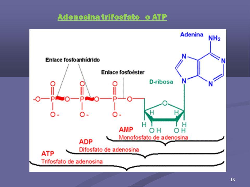 14 Adenosina monofosfato o AMP cíclico NAD+