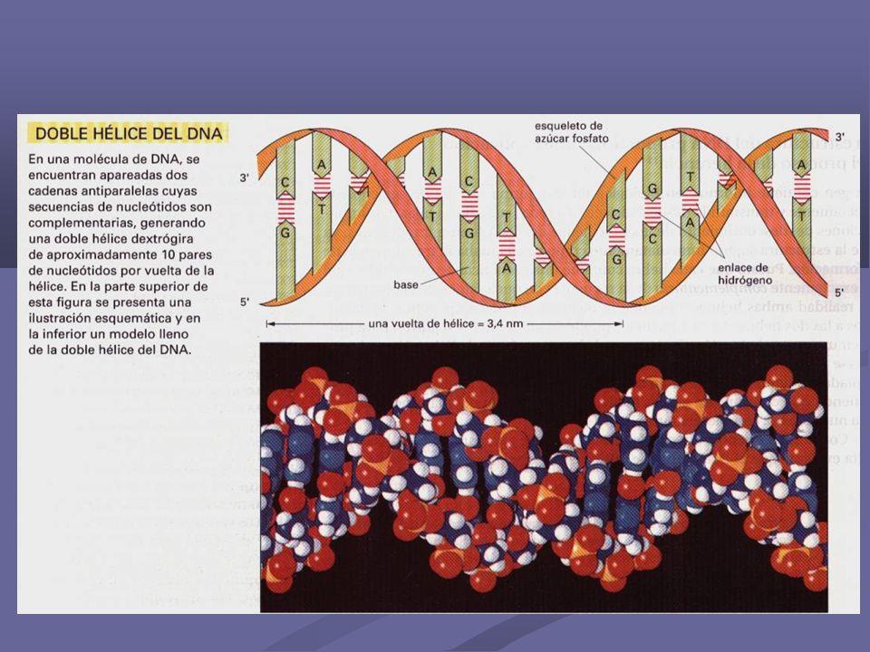 Las columnas vertebrales azúcar-fosfato de las dos cadenas forman hélices que giran hacia la derecha.