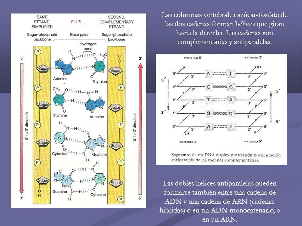 Las columnas vertebrales azúcar-fosfato de las dos cadenas forman hélices que giran hacia la derecha. Las cadenas son complementarias y antiparalelas.