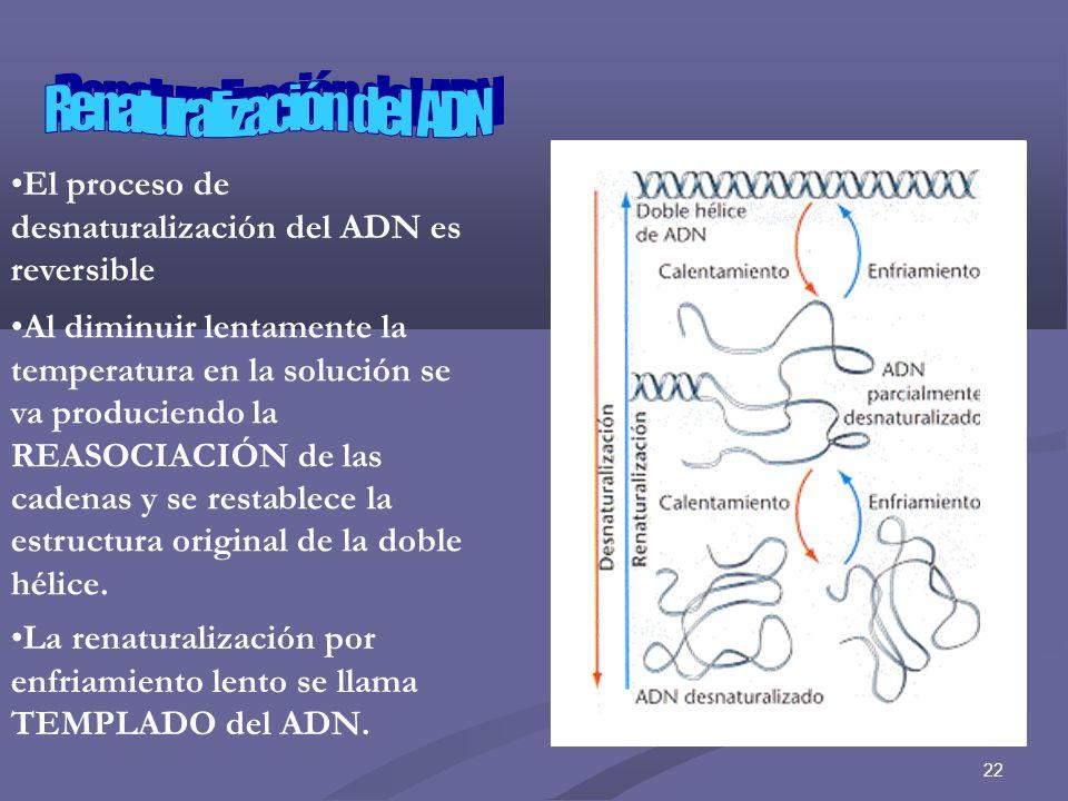 23 En el NÚCLEO de las células EUCARIOTAS el ADN se encuentra asociado a ciertas proteínas las histonas, formando la CROMATINAEn el NÚCLEO de las células EUCARIOTAS el ADN se encuentra asociado a ciertas proteínas las histonas, formando la CROMATINA Durante el CICLO CELULAR …2 etapas 1.Interfase ADN CROMATINA 2.Mitosis el ADN CROMOSOMAS Las HISTONAS tienen carácter básico, los aminoácidos más comunes en estas son lisina y arginina.Las HISTONAS tienen carácter básico, los aminoácidos más comunes en estas son lisina y arginina.