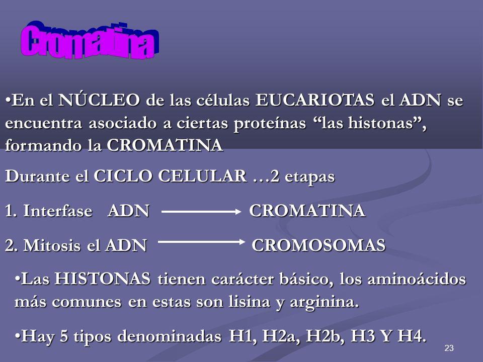 23 En el NÚCLEO de las células EUCARIOTAS el ADN se encuentra asociado a ciertas proteínas las histonas, formando la CROMATINAEn el NÚCLEO de las célu