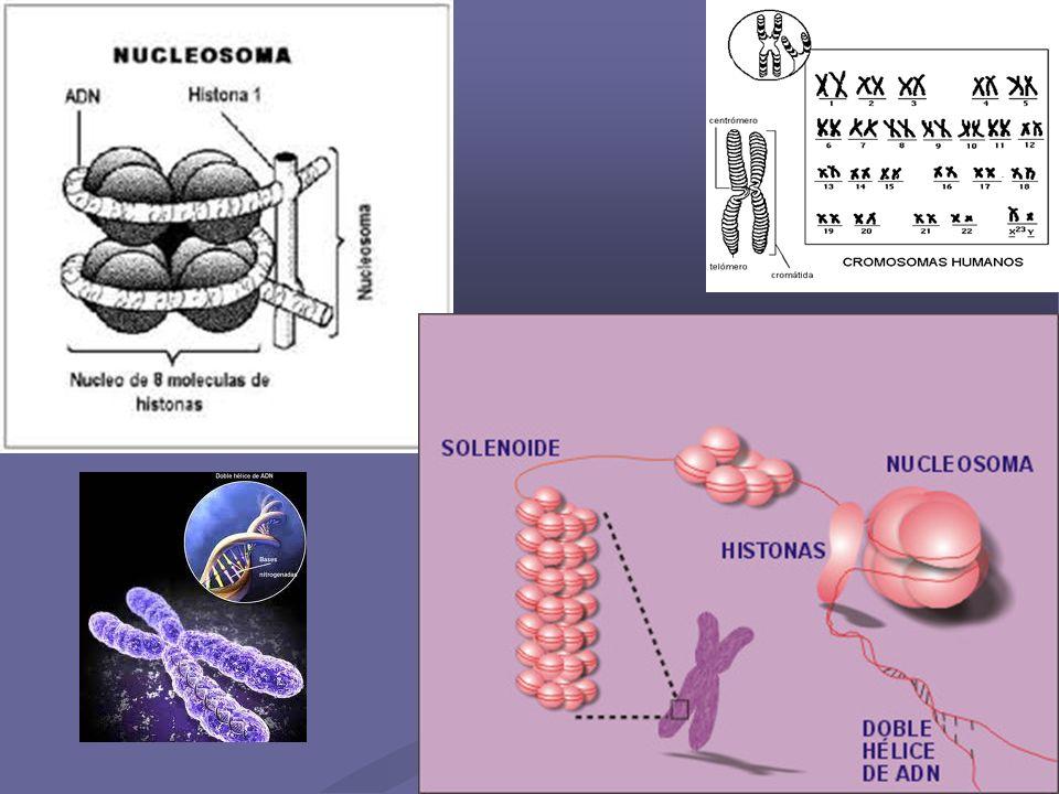 25 ADN CIRCULAR Característico de los organismos procariotas (sin núcleo) como en el caso de las bacterias, tienen un cromosoma único constituido por una doble hélice de ADN que no tiene extremos libres, por lo tanto se cierra sobre sí mismo formando un círculo.