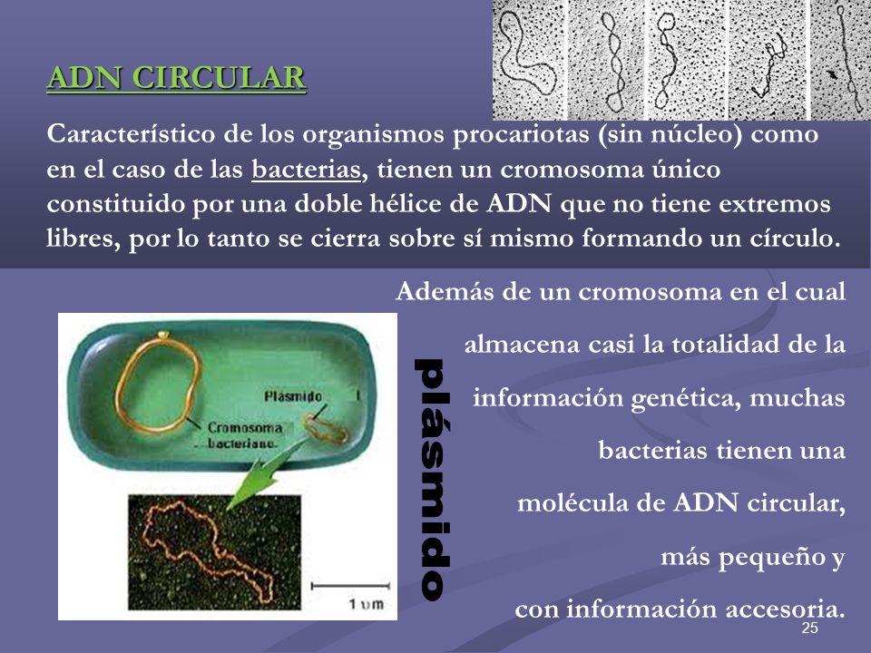 26 ADN CIRCULAR en mitocondrias y cloroplastos