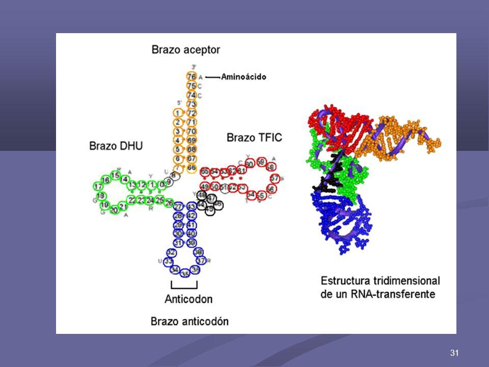 32 ARN r (ARN ribosomal) 1.Es el más abundante, 80 % del contenido en la célula.