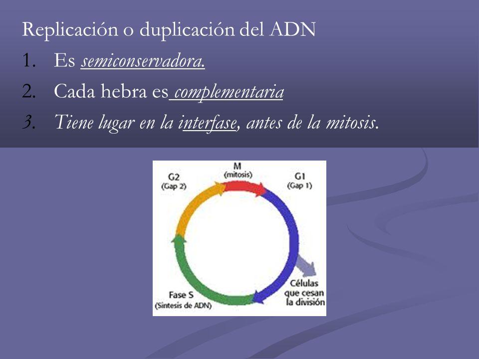 Replicación o duplicación del ADN 1.Es semiconservadora. 2.Cada hebra es complementaria 3.Tiene lugar en la interfase, antes de la mitosis.