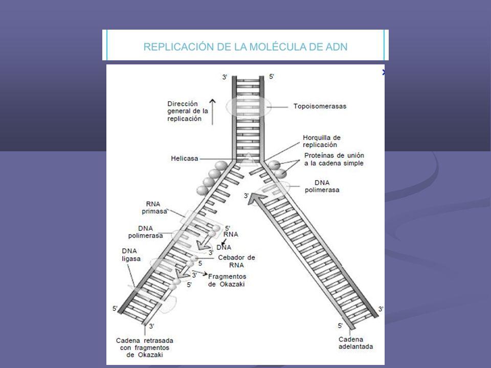 Pasos de la replicación 1.Separación de las 2 cadenas, en forma simultánea en todos los cromosomas y en muchos puntos, a estos se los llama bubones o burbujas.