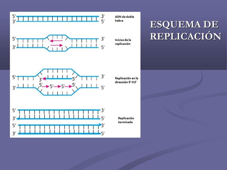 Los nucleotidos se incorporan a partir del ARN cebo en el orden necesario para formar la cadena complementaria de la hebra de ADN original.