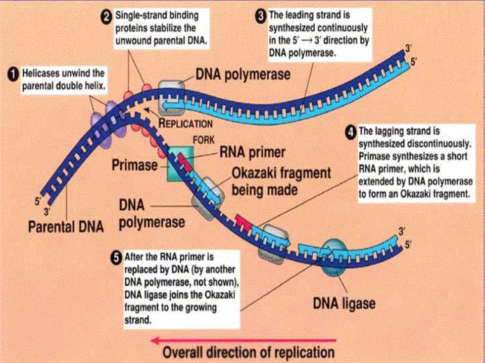 La replicación del ADN en células eucariotas es más compleja: Orígenes múltiples de replicación (replicones).