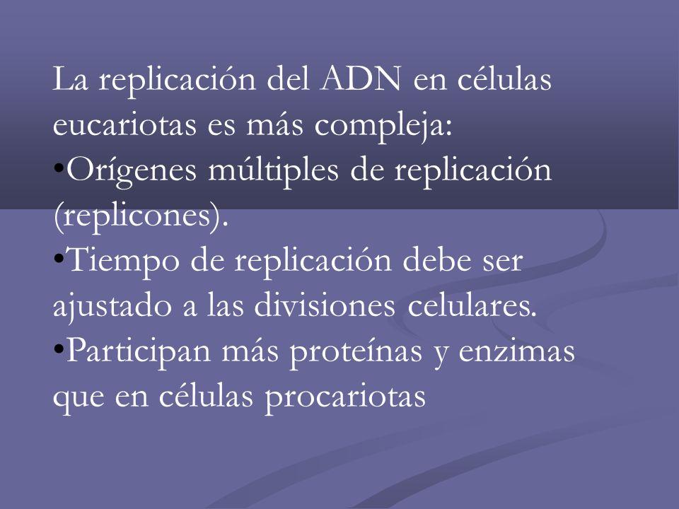 La replicación del ADN en células eucariotas es más compleja: Orígenes múltiples de replicación (replicones). Tiempo de replicación debe ser ajustado