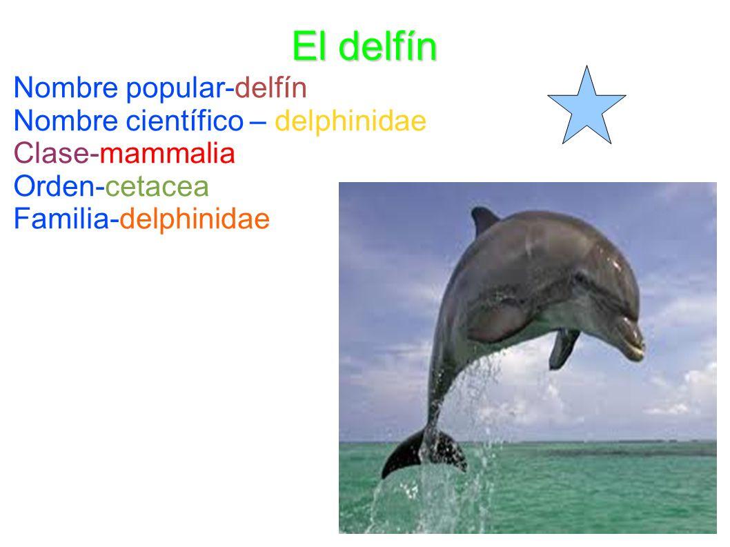 El delfín Nombre popular-delfín Nombre científico – delphinidae Clase-mammalia Orden-cetacea Familia-delphinidae
