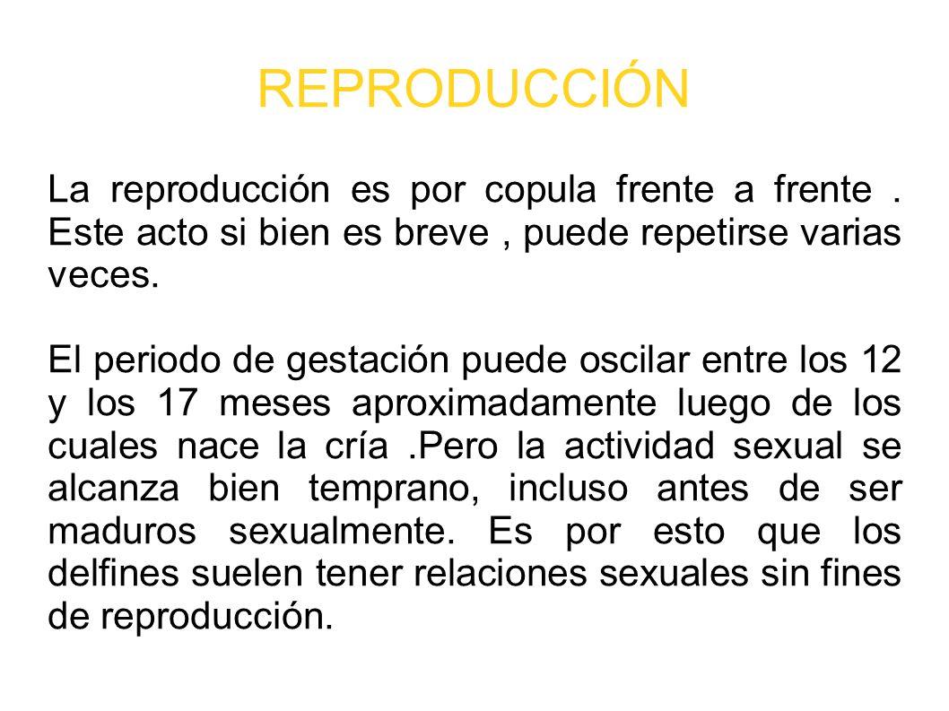 REPRODUCCIÓN La reproducción es por copula frente a frente. Este acto si bien es breve, puede repetirse varias veces. El periodo de gestación puede os