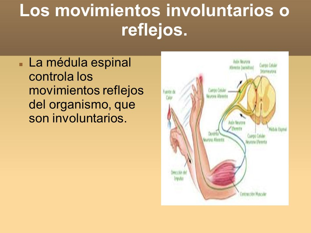 Los movimientos involuntarios o reflejos.