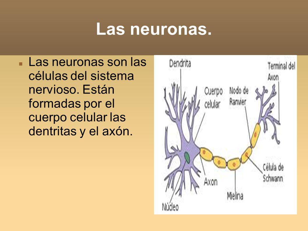 Las neuronas.Las neuronas son las células del sistema nervioso.