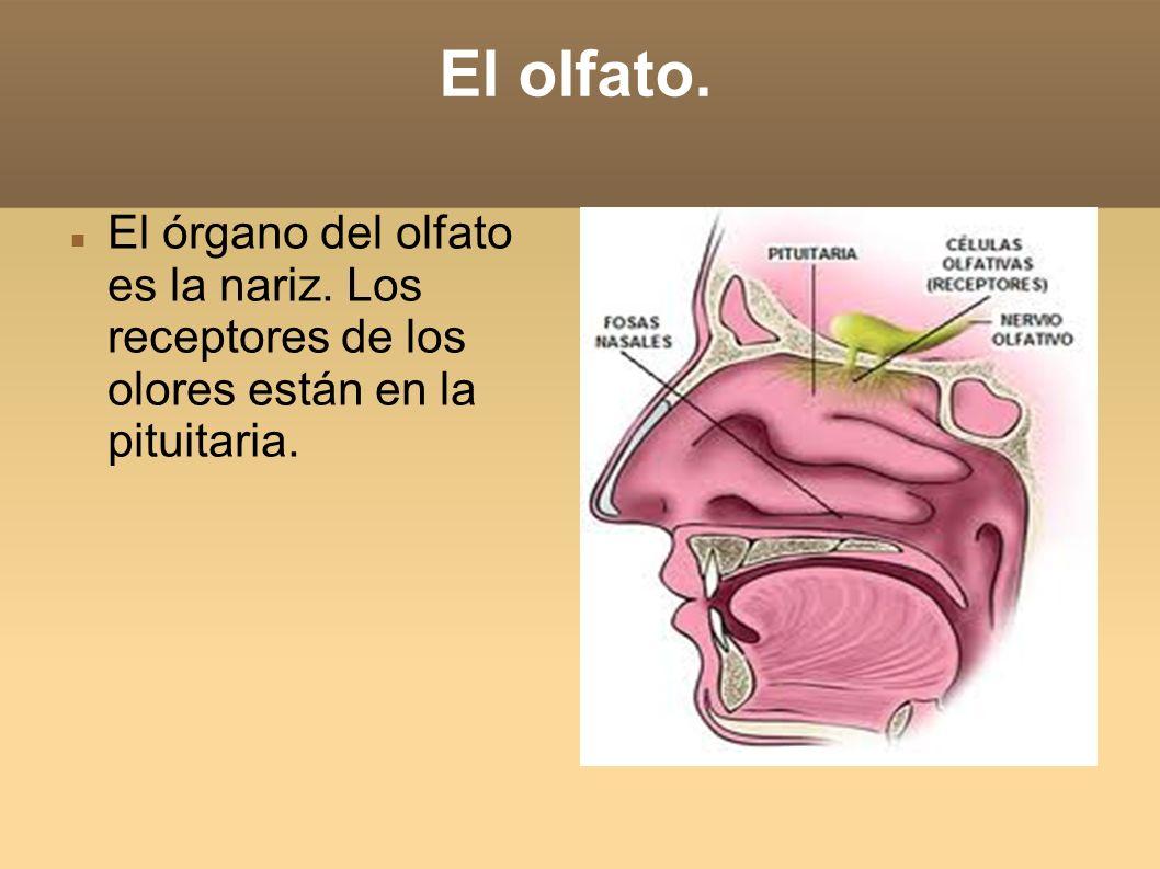 El olfato. El órgano del olfato es la nariz. Los receptores de los olores están en la pituitaria.