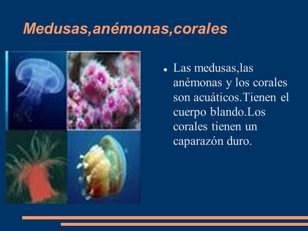 Medusas,anémonas,corales Las medusas,las anémonas y los corales son acuáticos.Tienen el cuerpo blando.Los corales tienen un caparazón duro.