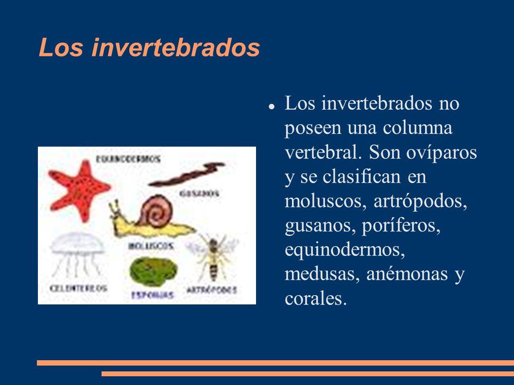 Los invertebrados Los invertebrados no poseen una columna vertebral. Son ovíparos y se clasifican en moluscos, artrópodos, gusanos, poríferos, equinod